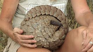 What is a Pangolin? - The Pangolin: No Time to REST