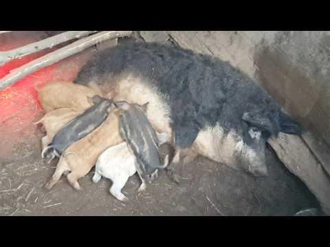 Вислобрюхая вьетнамская свинья все о породе Как