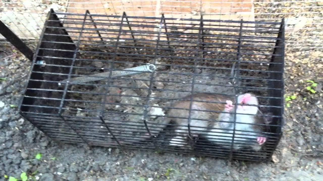 Probando la jaula trampa en casa de antonio otra vez doovi - Cepos para ratas ...