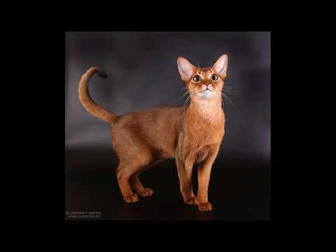 how to train an abyssinian cat