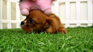 Cavalier King Charles Spaniel Puppies For Sale San Diego Puppy Ruby