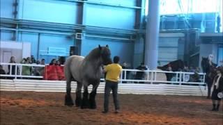 видео Бельгийские тяжеловозные породы лошадей