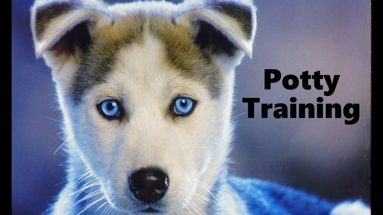 How to potty train a siberian husky puppy husky house training how to potty train a siberian husky puppy husky house training tips housebreaking husky puppies youtube geenschuldenfo Images