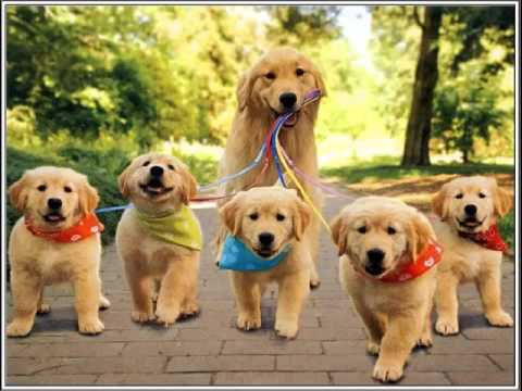 dog breed golden retriever picture collection ideas golden