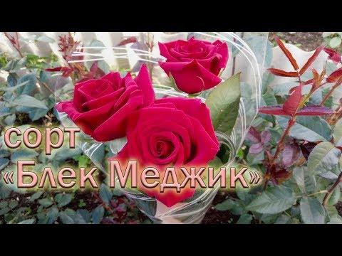 Обзор чайно-гибридных роз сорта Блек Меджик