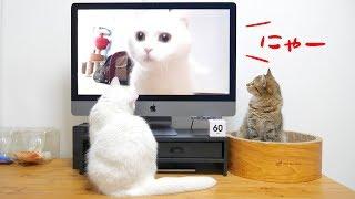 猫の集会中に自分の鳴き声が流れたらどんな反応をする?