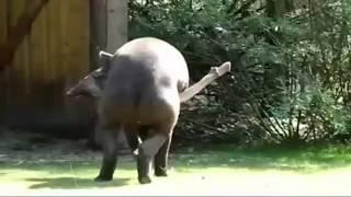 PENE DE 1,50 METROS. EL PENE DEL TAPIR. Uno de los más grandes del reino animal