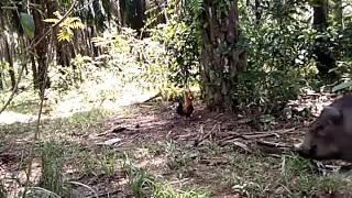 Download Video Denak ayam hutan dimakan Babi MP3 3GP MP4