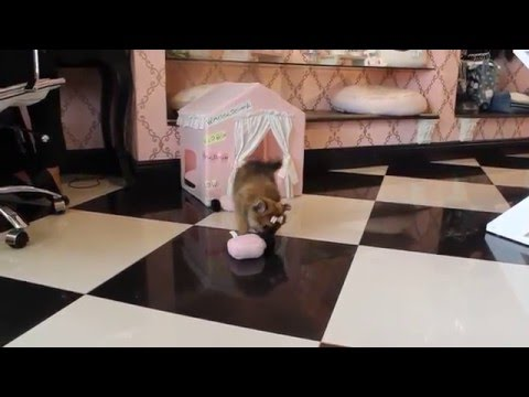 2016 Tiny Toy Pomeranian buy at Teacup Puppies Store .com - www.TeacupPuppiesStore.com