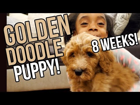 We Got a Goldendoodle Puppy   | 8 Weeks F1B | Petsmart Haul