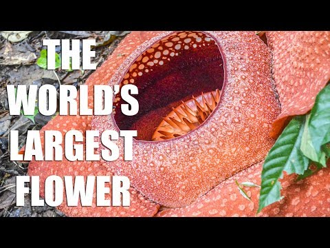 HIKING IN MALAYSIA TO FIND THE RAFFLESIA FLOWER
