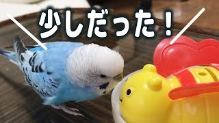 Budgie Finds out His Snack Isn't That Much...