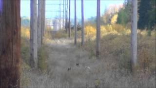 Волки в тайге. Канада. Саскачеван. Октябрь 2013.