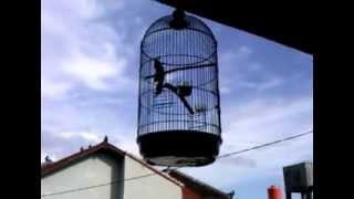Burung Sanger Betina Semi ngerol