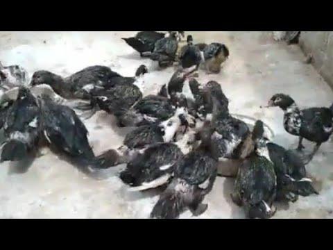 طيورى بعد الهوجه