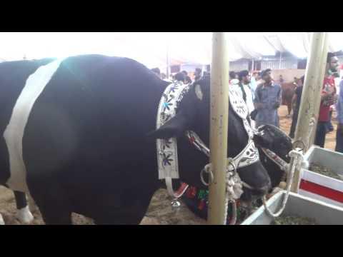big cow 2013