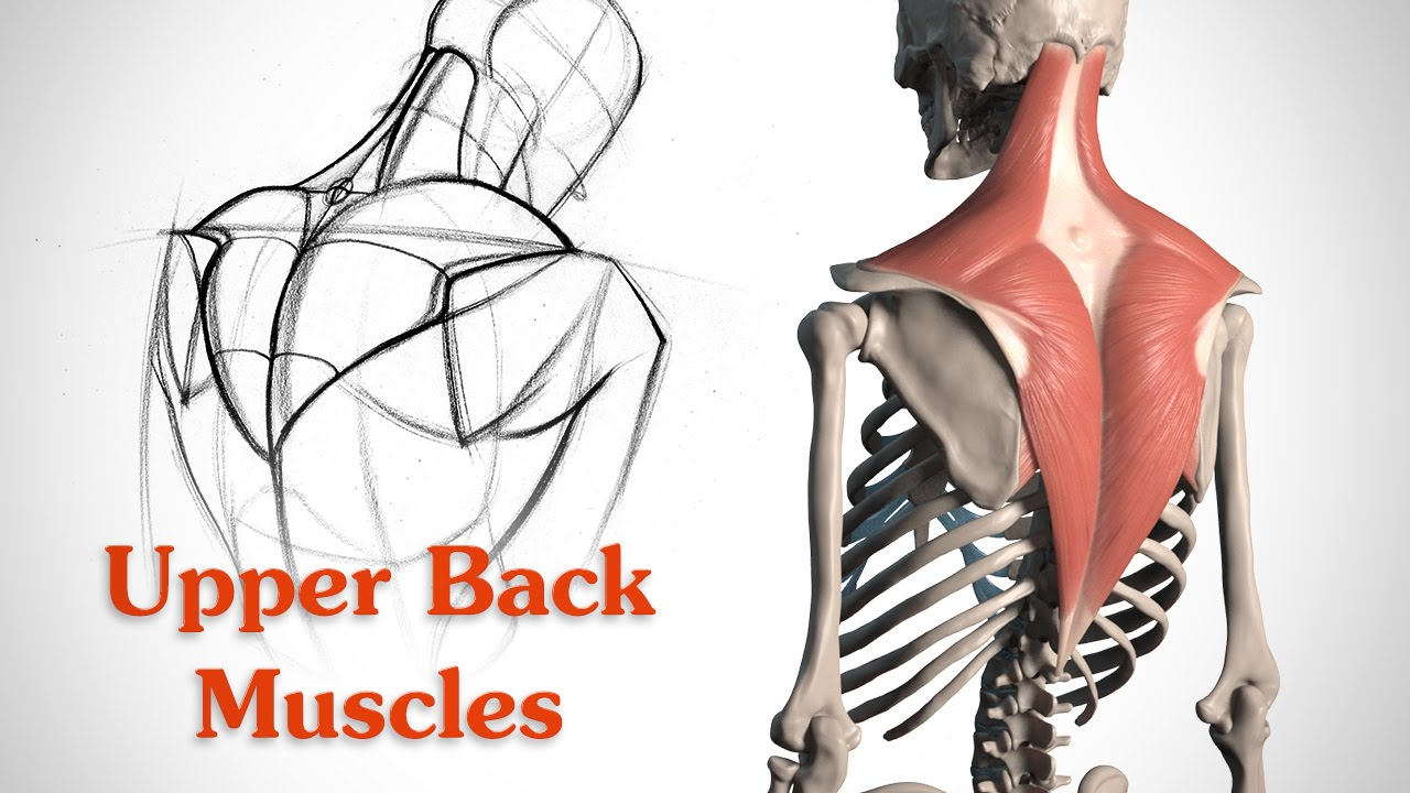 How To Draw The Upper Back Muscles Anatomy And Motion Youtube