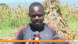 Zao la mahindi lazua wasiwasi Trans-Nzoia