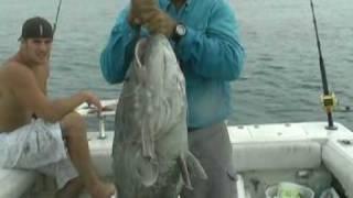 50 lb Grey Grouper