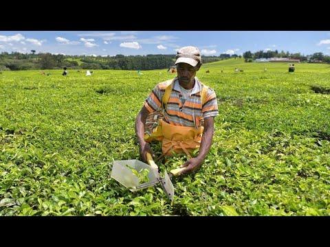 Kenya tea growers shift to produce pineapple as climate change bites