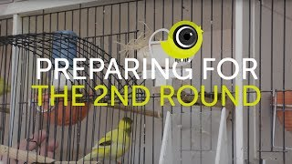 Preparing Birds for the Second Round of Breeding | The Canary Room Top Tips