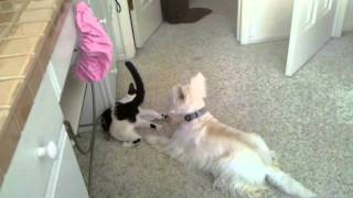 Westie And Cat Playing