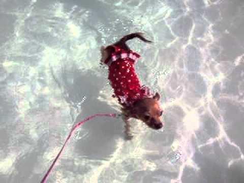Chihuahua Nadando ~ Chihuahua Swimming