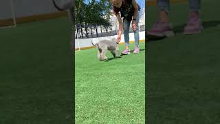 Airy Step bedlington terrier kennel(2)