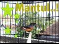 Masteran Murai Betina Cocok Untuk Ngecas Murai Jantan Macet Bunyi  Mp3 - Mp4 Download