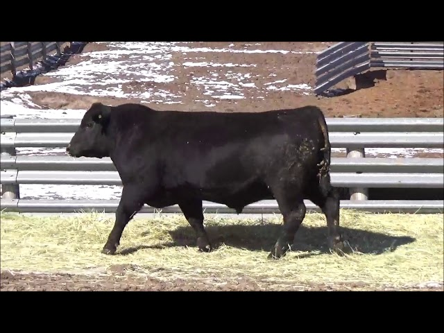 Connealy Angus Lot 481