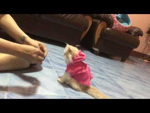ฝึกแมวเปอร์เซีย..น้องhero.อายุ.2.5เดือน