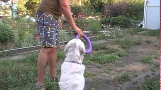 Обучение собак командам. Как научить лабрадора командам