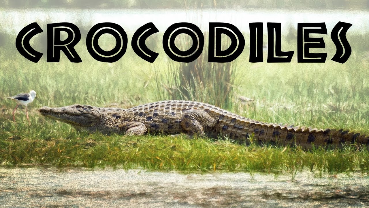 All About Crocodiles For Kids  Crocodiles Of The World For