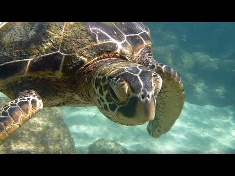 Snorkeling With Turtles In Kapalua Bay (Maui) (4K)