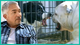 Cesar Deals With A Pair Of Violent Dogs | Cesar 911