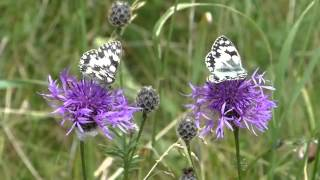Marbled White Butterflies supping nectar from Greater Knapweed