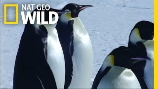 Emperor Penguin Migration | Deep Blue