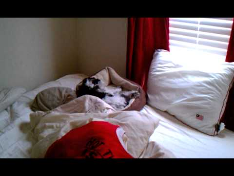 Video of lazy dog not getting out of bed in the morning (shih tzu)
