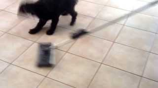 Sooty - Poodle X Bichon Frise Attacking Vacuum Cleaner