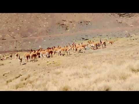 Chaccu de vicuña 2017 - Telapaccha - Huancavelica