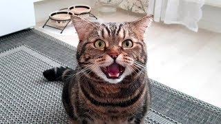 Кот смешно мяукает без звука; Cat Is Meowing Without Sound