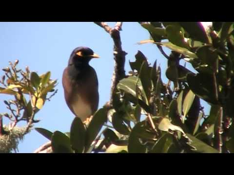 common mynah calling from tree, NZ