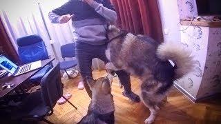 издевательство над собаками / МАЛАМУТ НАКАЗАЛ