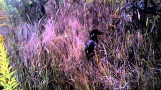 German Shorthaired Pointer Puppy Meets With Pheasant