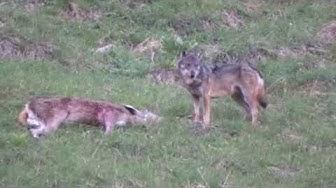 Erste Videobilder vom Wolf bei Lech