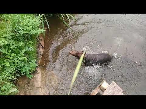 Дейнар прыгает в воду.Шоколадный Доберман