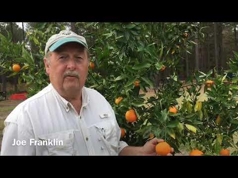 Citrus grows in Statesboro at Franklin Farms