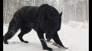 Best German Shepherd Black Dogs  Black Dogs