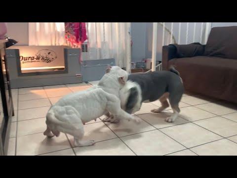 micro bully breeding update🔥🐶🦍💯