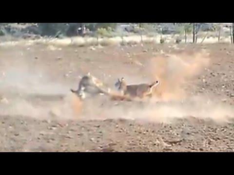 Bobcat Attacks and Kills a Deer (HD)